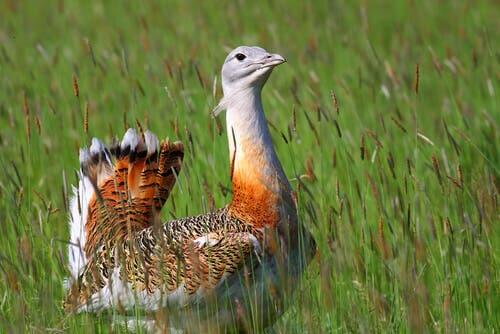 Tutto sull'otarda, un elegante uccello che può pesare 20 kg