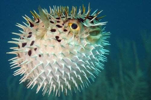 Pesce palla, un animale quasi estinto