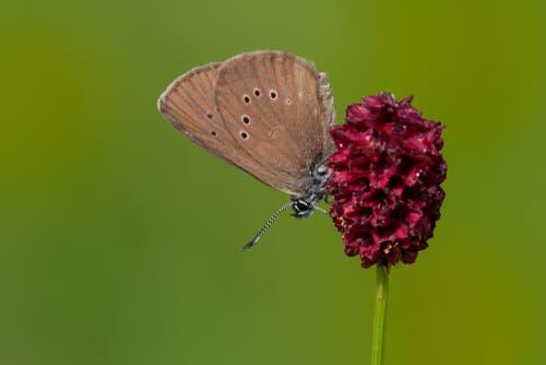 le Phengaris nausithous sono farfalle carnivore che abitano buona parte dell'Europa