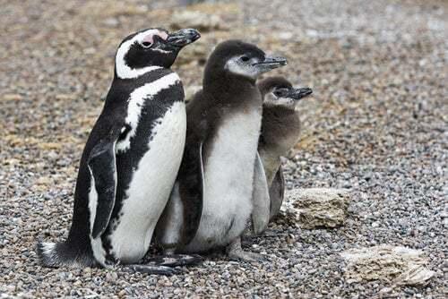 Pinguino della Patagonia
