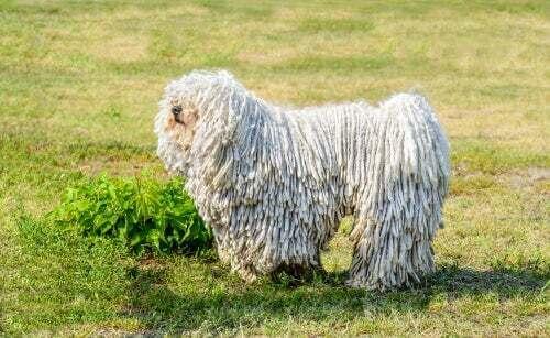 """Il puli ungherese: il cane """"rasta"""" dal carattere vivace"""