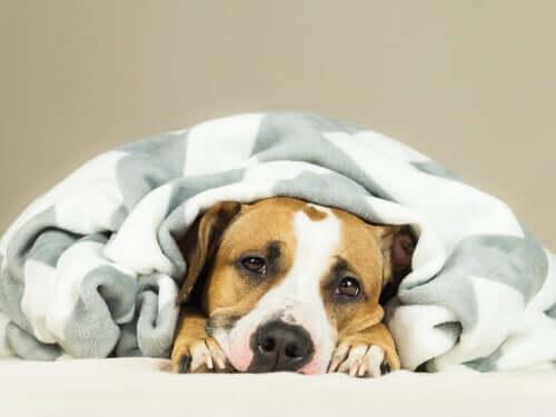 Raffreddore nei cani: cane sotto una coperta.