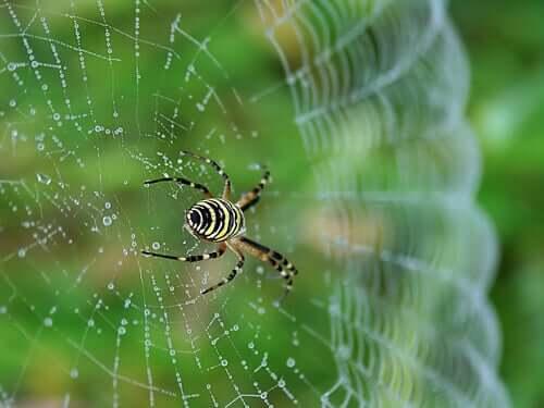 Ragno che tesse la ragnatela