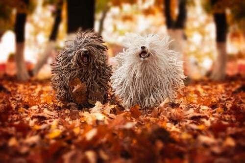 Razza cane puli ungherese, cani che corrono in autunno