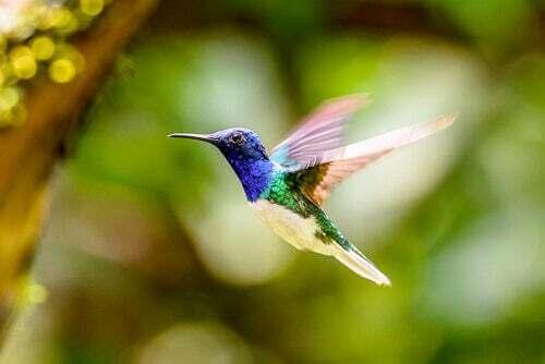 Volo del colibrì