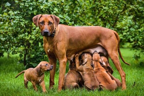 Aspetti principali dell'allattamento nei cani