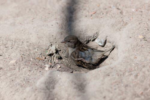Il passero domestico ha l'abitudine di fare bagni di polvere
