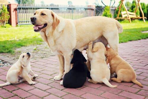 allattamento nei cani: può presentare una durata variabile