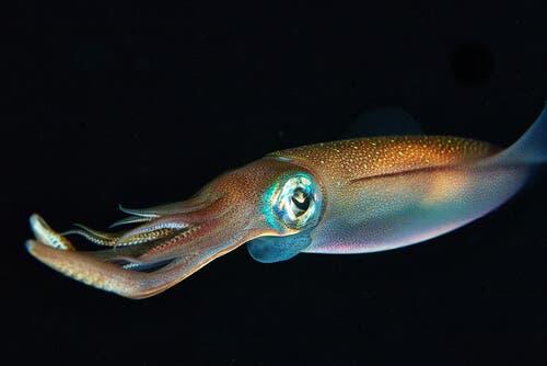 Calamaro negli abissi