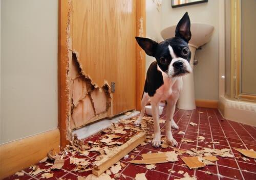 Il comportamento ossessivo negli animali cane che distrugge la porta