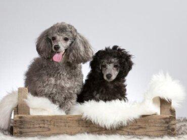 Il colore del pelo del cane indica possibili patologie