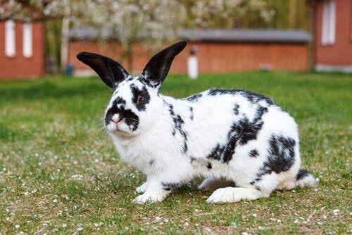 Coniglio bianco e nero