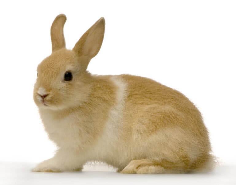 Coniglio domestico marrone