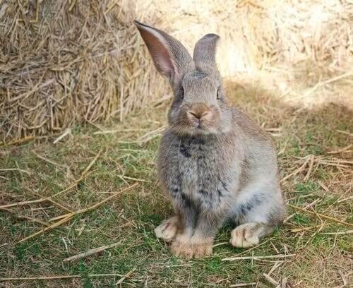 Coniglio gigante continentale: il più grande del mondo