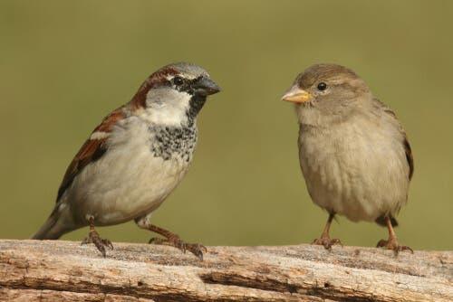 Il maschio e la femmina del passero domestico presentano caratteristiche distinte