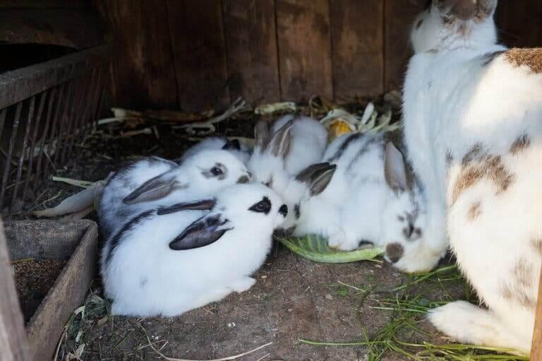 Cuccioli di coniglio con la madre