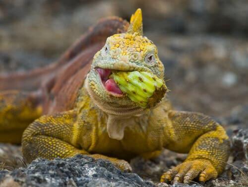 Dieta della iguana