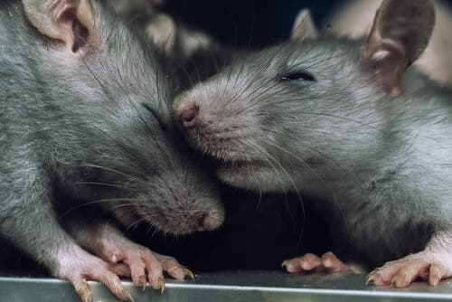 L'empatia dei ratti che evitano di ferire i loro simili