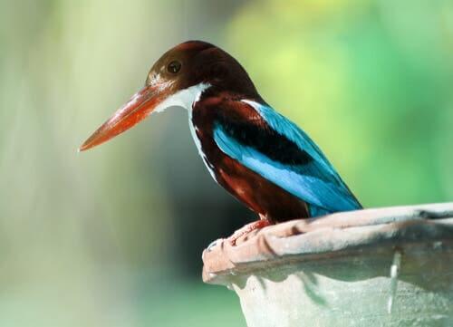 Alcedini: i meravigliosi uccelli della famiglia del martin pescatore