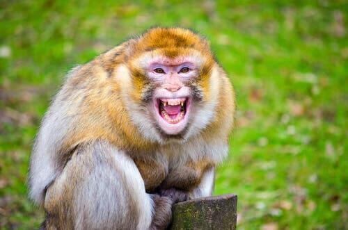 Espressioni dei macachi: scimmia che urla