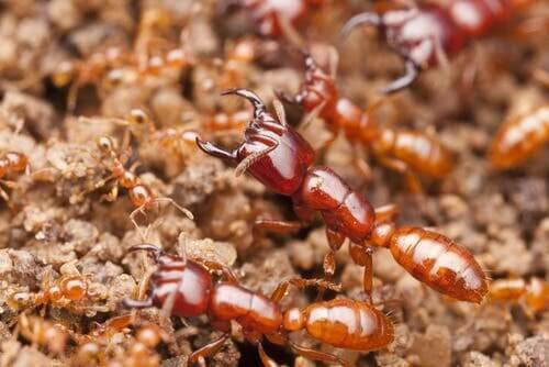 Formica di grandi dimensioni e formiche più piccole