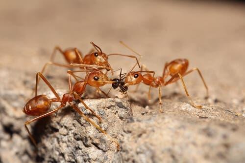 Eusocialità e riproduzione delle formiche