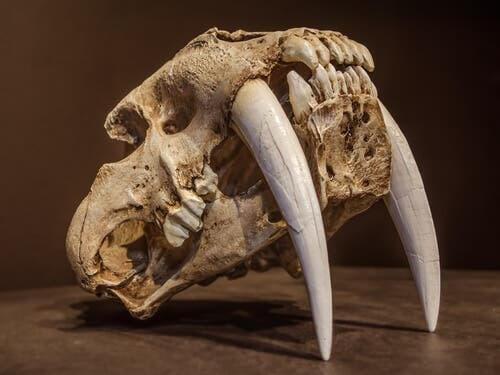 La tigre dai denti a sciabola: il felino più temuto