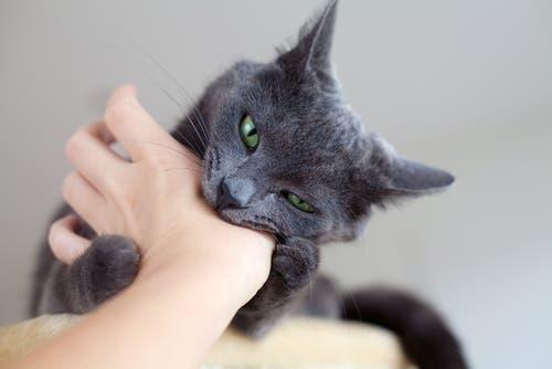 Gatto grigio morde una mano