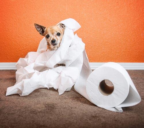 Cane di piccola taglia con carta igienica: incidenti domestici cani