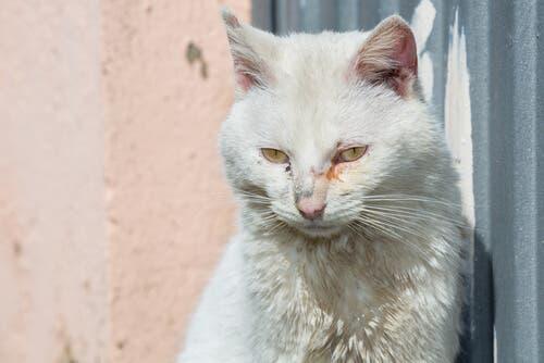 gatto con infiammazione agli occhi