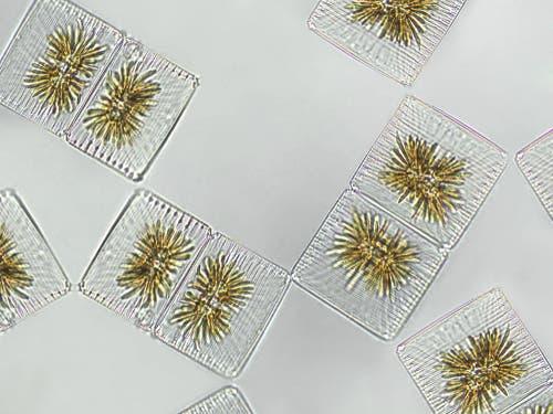 il fitoplancton è formato ma microalghe e cianobatteri