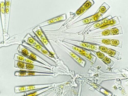 il fitoplancton per cani può contribuire al miglioramento della loro salute