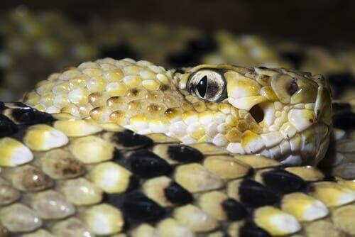 Occhio serpente arrotolato su se stesso