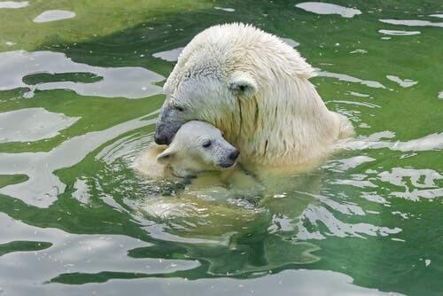 orso polare che accudisce un piccolo