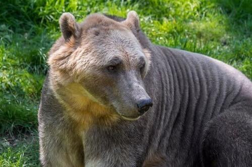 Il curioso caso dell'orso grolare, una specie ibrida naturale