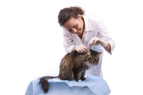 gatto con l'otite, una delle malattie comuni dei gatti