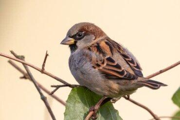 Il passero domestico è in via di estinzione in Europa?