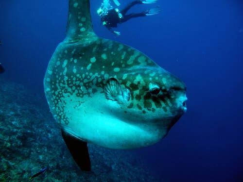 il pesce luna è il pesce osseo più pesante del mondo