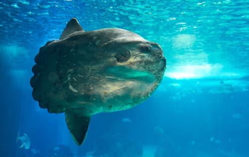 Il pesce luna (Mola mola), il più pesante del mondo