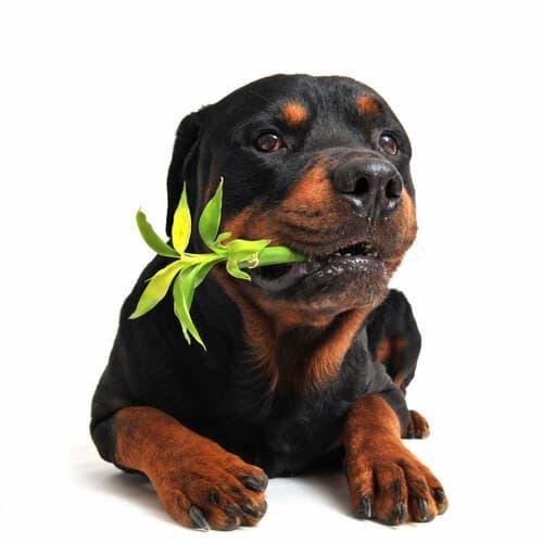 Piante medicinali e usi della camomilla per il cane