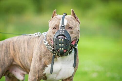 Pitbull: sono davvero cani pericolosi?