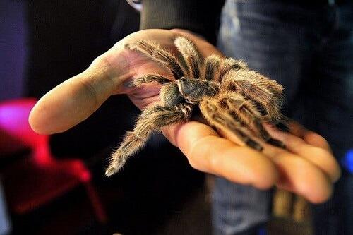 ragno tarantola sulla mano di un uomo