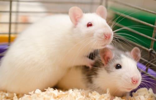Ratti in gabbia