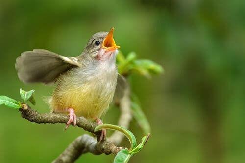Come imparare a riconoscere il canto degli uccelli