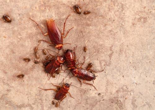 Riproduzione degli scarafaggi