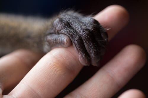 Scimmia aggrappata al dito