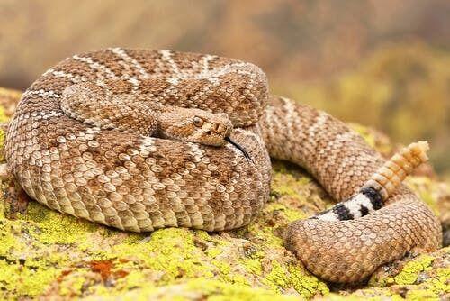I serpenti a sonagli usano le squame per immagazzinare acqua
