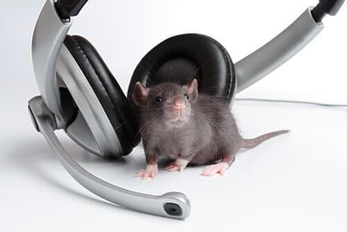 Topo vicino a delle cuffie: gli effetti della musica sugli animali