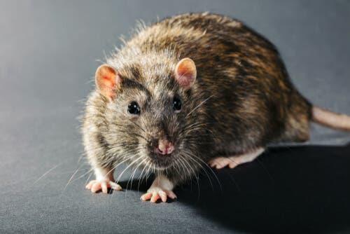 il virus dell'influenza può alterare il comportamento dei topi infettati