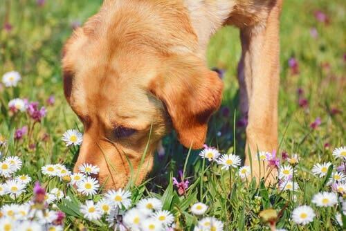 Usi della camomilla per il cane: quando e come prepararla